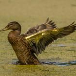 Canard colvert femelle qui se seche les ailes