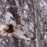 Buse Pattue / Rough-legged buzzard