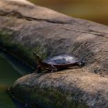 Tortue Peinte / Painted turtle