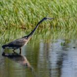 Great blue heron / Grand heron