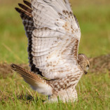 Red-tailled Hawk / Buse a queue rousse