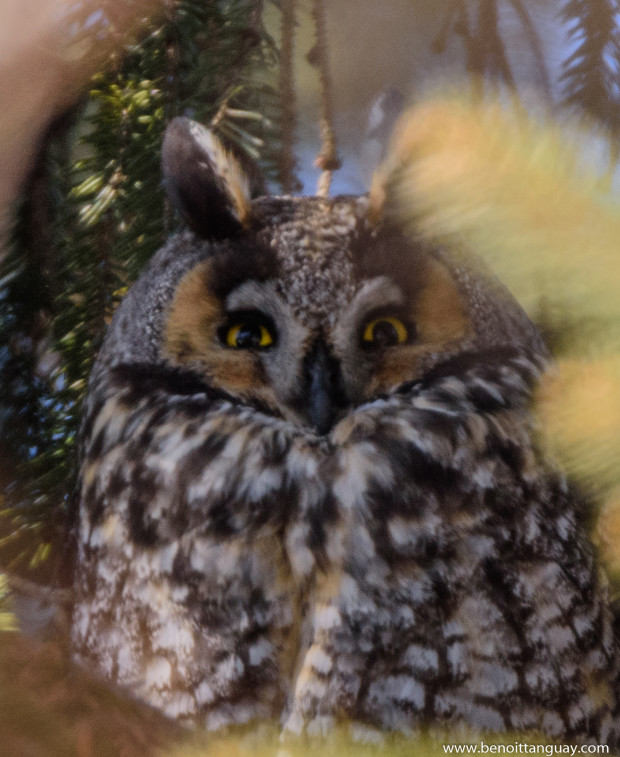 Long-eared owl / Hibou moyen-duc