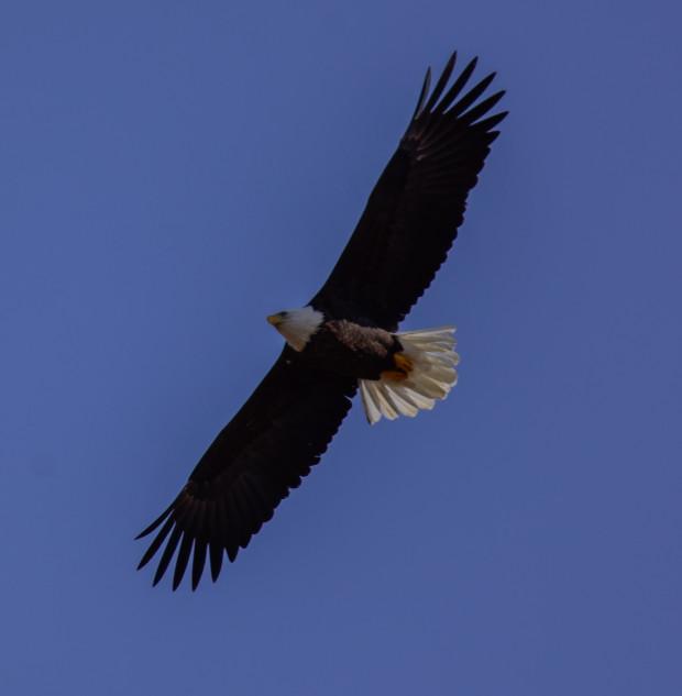 Bald Eagle / Pygargue a tete blanche